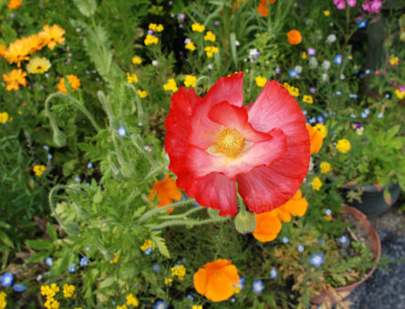 Poppies and other flowers in one of the CAT gardens